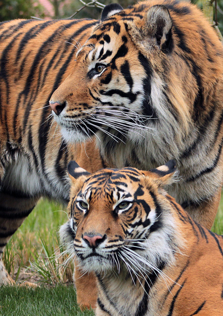 photograph of tiger and cub