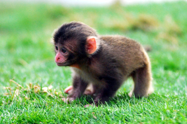 snow_monkey_baby_jp_1